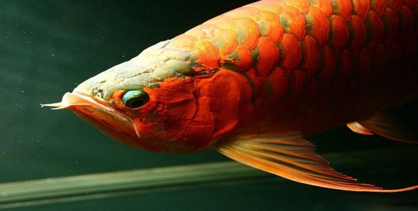 Common Arowana Diseases