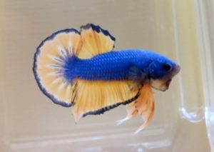 A Beginner's Guide to Betta Care
