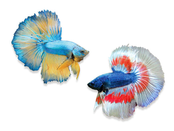 A beginner 39 s guide to betta care for Betta fish care guide